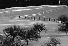 _DSC4769       Soft morning sun (christinachui79) Tags: daybreak softlight morningsun mothernature flickrlandscape flickrnature flickrsnowscape nikond759 snowscapephotography landscapephotography flickrphotography naturephotography lines trees snow snowscape flickr nature photography landscape tree light morning nikon d750 tranquil serene scenery outdoor farm shade beautiful