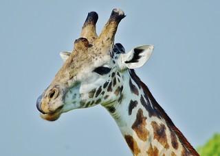 Masai Giraffe Up Close