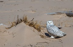 Snowy Owl Close (Epperly Photographic Images) Tags: snowy owl birds nature michigan north cold nikon d800e