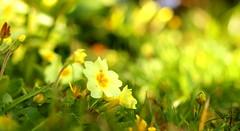 The Primrose Carpet (acwills2014) Tags: spring primrose pale yellow carpet bokeh