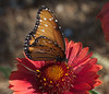 Queen in the Butterfly Garden, Tucson Botanical Gardens (Distraction Limited) Tags: tucsonbotanicalgardens tucsonbotanical botanicalgardens gardens tucson arizona queenbutterfly danausgilippus danaus butterflies insects butterflygarden tbg20180330 explore