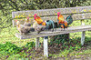 Happy Easter (enneafive) Tags: easter roosters hens bench spring colour peace fujifilm xt2