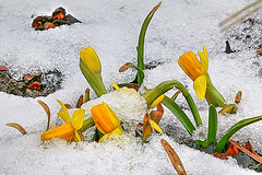 IMG_6470_1_2_3_4_5_6-1 (jörgpreusser) Tags: blume blumen blüte blüten schnee yellow makro macro