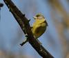 06 04 2018 (cathyk31) Tags: verdierdeurope oiseau carduelischloris europeangreenfinch fringillidés passériformes bird