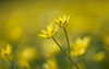 entwined (Emma Varley) Tags: lessercelandine wildflower flower wild spring april westsussex uk yellow dreamy shallowdepthoffield entwined lovers pair