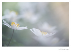 Anemone nemorosa... (crispin52) Tags: anemoon bosanemoon tuin bloem macro nikon