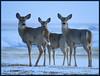 Whitetails (got2snap) Tags: whitetail deer march wildlife wild animal prairie southern