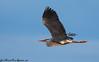 Bernat pescaire (José Manuel, thanks for +450,000 views) Tags: ardeacinerea garzareal greyheron birds aus aves oiseaux utxesa canon50d sygma 150500