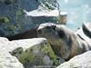 Marmotte (fauneetnature) Tags: montagne maurienne mountain mountainanimals marmotte marmot marmottes marmots animalier animaux animals animal alpes alps animauxmontagne savoie
