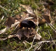 Red-tailed bumblebee (sam.naylor) Tags: pentax dslr vivtar 90mm digital leaves trees winter park walk nature brown bird tree macro spring