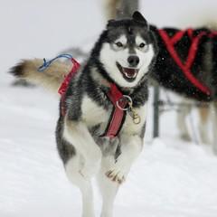 Acadie (francis.bordeleaumartin) Tags: avecdrapeau chien traineau sled dog