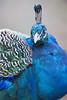 Proud peacock (Tambako the Jaguar) Tags: peacock male blue bird portrait beautiful posing basel zoo zolli switzerland nikon d5