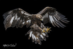Golden Eagle_T3W4014 (Alfred J. Lockwood Photography) Tags: alfredjlockwood nature canadianraptorconservancy flight landing talons lowkey goldeneagle crc ontario canada morning autumn