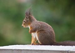 Ich hasse Schnee, wirklich!/ I do hate snow, honestly! (schreibtnix on 'n off) Tags: deutschland germany bergischgladbach jahreszeiten seasons winter tiere animals eichhörnchen squirrel sciurusvulgaris nahaufnahme closeup ichhasseschnee ihatesnow olympuse5 schreibtnix