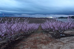 Storm is coming over the fruit trees' fields (pepa_carbassa) Tags: spring printemps primavera flors flowers flores fleurs florits fleuris blooming fruitiers fruiters frutales fruittrees