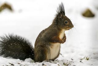 schwarzes Eichhörnchen im Schnee