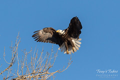 Female Bald Eagle returns to the nest - 11 of 29
