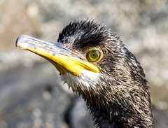 cormorant (colskiguitar) Tags: cormorant wildfowl covebay aberdeenshire northeast wild birds sealife coast fishing