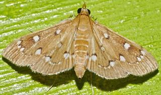 White bead chain caramel moth Cotachena sp Spilomelinae Crambidae Airlie Beach Rainforest P1210463