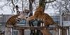 YWP: Tiger Tantrum 1 (Adrian.W) Tags: tiger amurtiger bigcat flickrbigcats cat feline predator endangered fur stripes ywp yorkshirewildlifepark yorkshire doncaster nikon d5500 70300mm vladimir sayan
