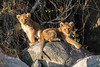 Lion Cubs (mayekarulhas) Tags: krugerpark mpumalanga southafrica za lion cubs wildlife wild animal canon500mm canon1dxmark2 safari
