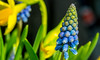 Spring Vibes (evakongshavn) Tags: 7dwf flowers macro macroshot makro makroaufnahmen macrounlimited flora tinytreasuresinflora yellow blue bluetiful colors colours springflowers spring closeup vernalequinox firstspringday