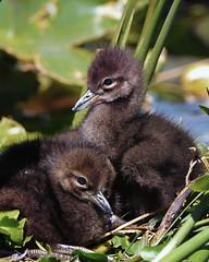 Two Limpkin nestlings; Fuzz Balls (Stan in FL) Tags: limpkin chicks nestlings fl venetian gardens leesburg birds birding nikon d500 nature natur aramus guarauna