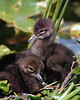 Two Limpkin nestlings; Fuzz Balls (Stan in FL) Tags: limpkin chicks nestlings fl venetian gardens leesburg birds birding nikon d500 nature natur aramus guarauna