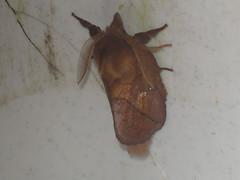Euthrix potatoria ♂ - The Drinker (male) - Травяной шелкопряд (самец) (Cossus) Tags: euthrix lasiocampidae pinarinae анциферово коконопряд 2006