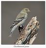 Chardonneret jaune / American Goldfinch 153A6587 (salmo52) Tags: oiseaux birds salmo52 alaincharette chardonneretjaune americangoldfinch carduelistristis réservoirbeaudet victoriaville passériformes fringillidés spinustristis