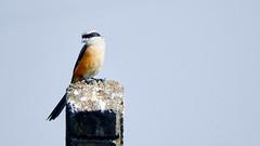 Long-tailed Shrike (Birdwatcher18) Tags: longtailedshrike shrike nature bird birding birder swamp marsh orangebird