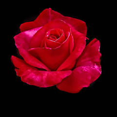 Floating Rose (http://fineartamerica.com/profiles/robert-bales.ht) Tags: arizona foothills haybales people photo places plants rose states perennial rosa rosaceae pink prickles thorns ornamental plant pedals inspirational scenic love pedal romance flower passion valentine isolated floral blossom greetingcard nature anniversary rosepetals iphone celebration gift wedding beautiful leaf petal birthday marriage romantic robertbales flora red holiday beauty tea winter squqre squareformat