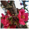 Japanese Quince Close Up (prima seadiva) Tags: blooming japanese quince spring