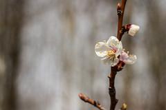 White flower (Marta Panzeri) Tags: fiore flower macro tree nature flowery natural unfurl bud white bianco depthoffield