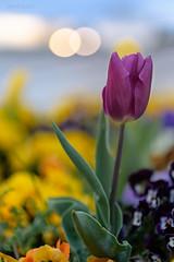 Primavera (invesado) Tags: primavera tulipanes bokhe flares colors
