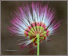 7775 - rain tree flower (Albizia saman ) (chandrasekaran a 50 lakhs views Thanks to all.) Tags: raintreeflower flowers nature india chennai canoneos80d tamron90mm