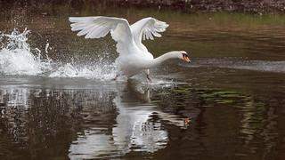 White Swan running on a lake