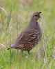 California Quail (F) (DoingDewey2) Tags: quail bird nature outdoors animal california point reyes