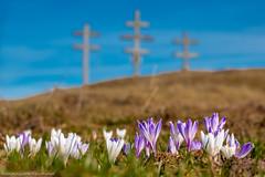 Krokusse auf der Sommeralm 3 (Bikerwolferl) Tags: outdoors natur blume pflanze imfreien schönheitdernatur blüte nahaufnahme frühling krokus botanik
