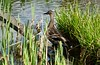 P2030211 (jeanchristophelenglet) Tags: cergyfranceparcdelapréfecture canardcolvert mallardwildduck patoreal caneton babyduck patinho laceau lakewater lagoagua