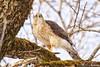 180413-19 Épervier de Cooper (clamato39) Tags: épervierdecooper coopershawk oiseau bird animal wild sauvage nature domainemaizerets provincedequébec québec canada