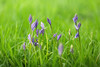 Bluebells and Grass (aveyardphotography) Tags: bluebells grass green bright nature plant
