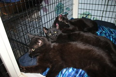It's Kitten Season! Cats and Kittens at Crafty Cat Rescue (Ann Arbor, Michigan) - Wednesday March 14th, 2018 (cseeman) Tags: cats pets craftycatrescue annarbor michigan shelter adoption catshelter catrescue caring animals kittens craftycatkittens2018 craftycatphotos03142018