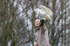 Snowy Owl (Glenn.B) Tags: andover hct hampshire hawkconservancytrust owl snowyowl birdofprey bird