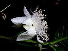 Guava flower - EXPLORED (M.Shafiq Chandaiser) Tags: