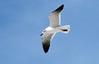 Laughing Gull -- Adult (Larus atricilla); Englewood Beach, Florida [Lou Feltz] (deserttoad) Tags: nature animal water park florida bird wildbird tern gull behavior beach