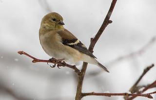 Chardonneret jaune // American Goldfinch