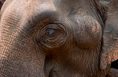Elephant Closeup (Shutterbugsafari) Tags: outdoors large head big isolated wildlife zoo wild animal national african closeup nature white ear portrait elephant trunk face animals background close park safari skin old strong mammal asia india texture tusks gray natural asian detail eye