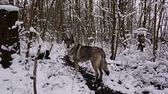 snow day with my cz dog (Bushcraft.Eure) Tags: snow wolfdog nature wildlife czdog wolf dog chien chienloup forest tree landscape czechoslovakianwolfdog