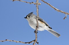 Tuffy (Diane Marshman) Tags: tuftedtitmouse tufted titmouse small bird gray head crest wings tail feathers upper white chest breast brown winter northeast pa pennsylvania nature wildlife